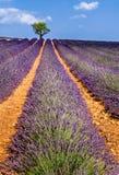 Поля лаванды в Valensole с оливковыми деревами Франция Провансаль стоковая фотография