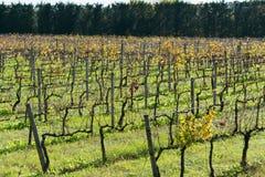 Поля виноградин Стоковое фото RF