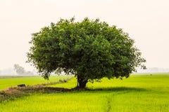 Поля дерева. Стоковые Изображения RF