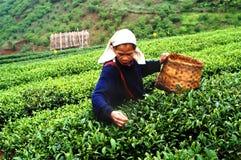 Поля зеленого чая Стоковое Изображение RF