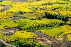 Поля золотого риса террасные на времени сбора Стоковая Фотография