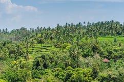 поля и ладони риса в Бали Стоковые Фотографии RF