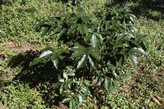 Поля и кофейные плантации стоковые изображения rf