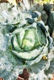 Поля капусты Стоковое Изображение RF