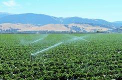Поля клубники в долине Salinas Стоковое Фото