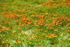 Поля мака Калифорнии во время времени пика зацветая, запаса мака Калифорнии долины антилопы Стоковые Фотографии RF
