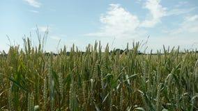 Поля мозоли пшеницы на сельской местности сток-видео