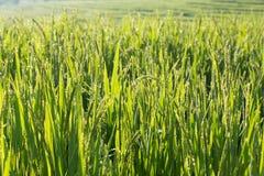 Поля неочищенных рисов культивирования земледелия Стоковые Изображения RF