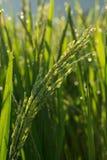Поля неочищенных рисов культивирования земледелия Стоковое Фото