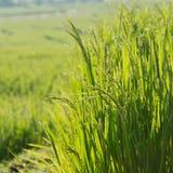 Поля неочищенных рисов культивирования земледелия Стоковое Изображение RF