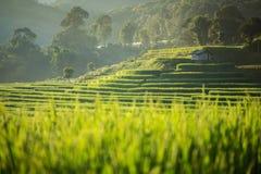 Поля неочищенных рисов плантации земледелия Стоковая Фотография