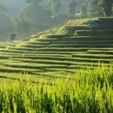 Поля неочищенных рисов плантации земледелия Стоковое фото RF