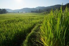 Поля неочищенных рисов плантации земледелия Стоковые Фото