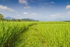 Поля неочищенных рисов Стоковые Фото
