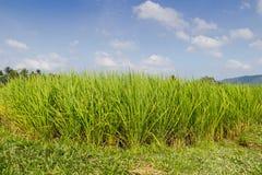 Поля неочищенных рисов Стоковая Фотография RF
