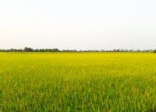 Поля неочищенных рисов стоковые изображения rf