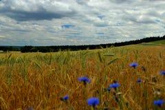 Поля предпосылки зерна и cornflowers с лесом Стоковое фото RF