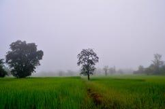 Поля риса в утре Стоковые Фото