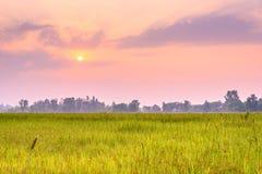Поля риса в утре Стоковые Изображения RF