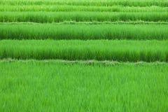 Поля риса закрывают вверх стоковая фотография rf