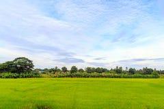 Поля риса и банановые дерева с небом и белыми облаками Стоковое фото RF