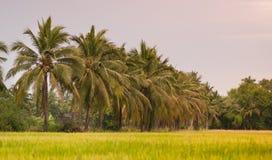 Поля риса, кокосовые пальмы Стоковое Фото