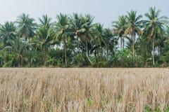 Поля риса после хлебоуборки Стоковое Изображение