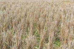 Поля риса после хлебоуборки Стоковое Фото