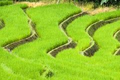 Поля риса террасы стоковое фото