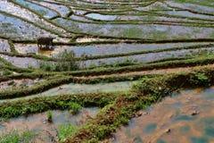 Поля риса террасы Стоковая Фотография