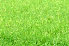 Поля риса Стоковая Фотография