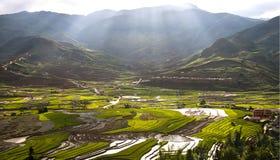 Поля риса Стоковое Изображение RF