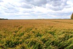 Поля рисовых полей Стоковая Фотография RF