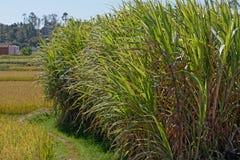 Поля сахарного тростника в Мадагаскаре Стоковая Фотография RF