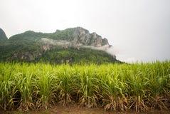 Поля сахарного тростника стоковая фотография