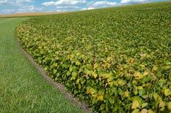 Поля сои в сентябре Стоковое Фото
