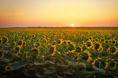 Поля солнцецвета во время захода солнца Стоковое Изображение