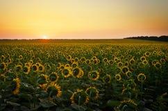Поля солнцецвета во время захода солнца Стоковые Изображения