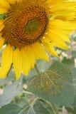 Поля солнцецвета в лете Стоковые Изображения RF