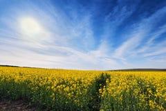 Поля сурепки весны Зацветая желтые цветки Стоковая Фотография