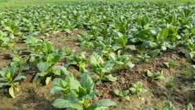 Поля табака зеленые Стоковое Изображение
