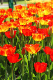 Поля тюльпана Голландии Стоковая Фотография RF
