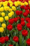 Поля тюльпана Орегона долины Skagit Стоковое Изображение