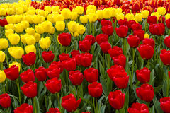 Поля тюльпана Орегона долины Skagit Стоковые Фотографии RF