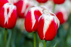 Поля тюльпана Орегона долины Skagit Стоковые Изображения RF
