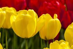 Поля тюльпана Орегона долины Skagit Стоковое Изображение RF