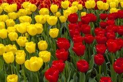 Поля тюльпана Орегона долины Skagit Стоковое Фото