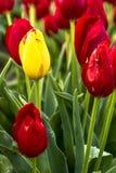 Поля тюльпана Woodburn Орегона Стоковые Фотографии RF