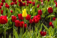 Поля тюльпана Woodburn Орегона Стоковые Изображения RF