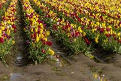 Поля тюльпана Woodburn Орегона Стоковое фото RF